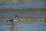 Ruddy Turnstone (Arenaria interpres) <br /> Little St Simon's Island, Barrier Islands, Georgia<br /> USA<br /> HABITAT & RANGE: