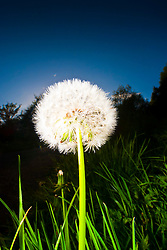 Common Dandelion, araxacum officinale, flowering in the Scottish sunlight in a garden in Falkirk...