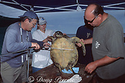 George Balazs, NMFS sea turtle research coordinator, takes body measurements of green turtle, Chelonia mydas, Kaloko-Honokohau National Historical Park, Kona, Hawaii ( the Big Island ), Hawaii, USA