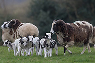 Getting help from this sheep to shepard her lambs into line (and presumably some borrowed ones!). If you planned a line up, it would never happen... quick, take the shot!