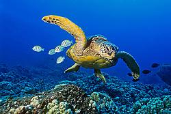 green sea turtle, Chelonia mydas, endangered species, with cleaning reef fish - convict tang, Acanthurus triostegus, and gold-ring surgeonfish, Ctenochaetus strigosus, Kona Coast, Big Island, Hawaii, USA, Pacific Ocean