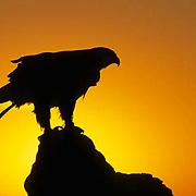 Golden Eagle, (Aquila chrysaetos) Silhouetted by setting sun.  Captive Animal.