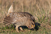Male sharp-tailed grouse on a prairie dancing ground