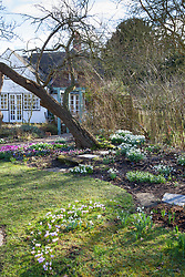 Looking towards the house with Cyclamen coum and snowdrops. Snowdrops and crocus growing in the grass. Galanthus elwesii strain with Crocus sieberi subsp. sublimis 'Tricolor' AGM, Three-coloured Sieber's crocus