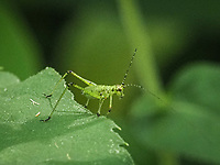 Mediterranean Katydid balancing on the edge of a leaf in The Ramble of Central Park