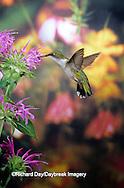 01162-05704 Ruby-throated Hummingbird (Archilochus colubris) female at Bee Balm (Monarda sp.) Shelby Co. IL