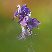 Larkspur flower, Consolida, St. Flour L'Etang, Auvergne, France