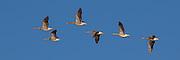 Escaping Gray goose | Grågås i flukt