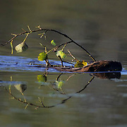 Beaver, (Castor canadensis) In pond swimming. Southern Manitoba. Canada.