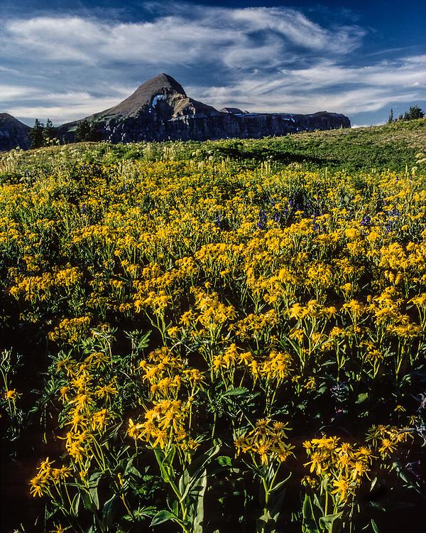 Fossil Peak and field of scenecio wildflowers, August, Teton Divide Trail, Grand Teton National Park, Wyoming, USA