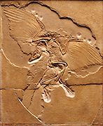 The Berlin specimen of Archaeopteryx is one of the most famous fossils in the world.  Seemingly half dinosaur and half bird, it has been called a fossil caught in the act of evolution.