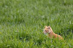An orange colored tabby cat lurks in some tall green grass looking for a snack.