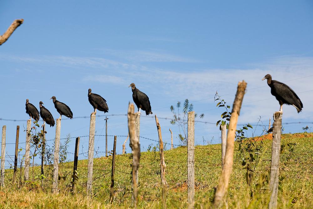 Itatiaiucu_MG, Brasil...Urubus na cerca de arame em Itatiaucu, Minas Gerais...Vultures on the barbed wire in Itatiaucu, Minas Gerais...Foto: LEO DRUMOND / NITRO