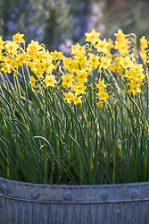 Narcissus 'Baby Boomer' in galvanised metal container. Jonquilla group.