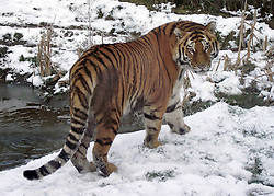© Licensed to London News Pictures. 16/01/2013. Whipsnade, UK A rare Amur tiger has made his public debut at ZSL Whipsnade Zoo. After travelling almost 2,000 miles to join the Zoo from Moscow just before Christmas, eighteen-month-old Botzman spent his first few weeks settling in behind the scenes before making his public debut this week. Keepers have spotted the youngster, who weighs in at a hefty 158kg (25 stone), excitedly exploring his new paddock and playing in the last bit of snow as he investigates his new home.. Photo credit : ZSL/LNP
