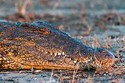 Nile Crocodile, Crocodylus niloticus, Chobe National Park, Botswana.