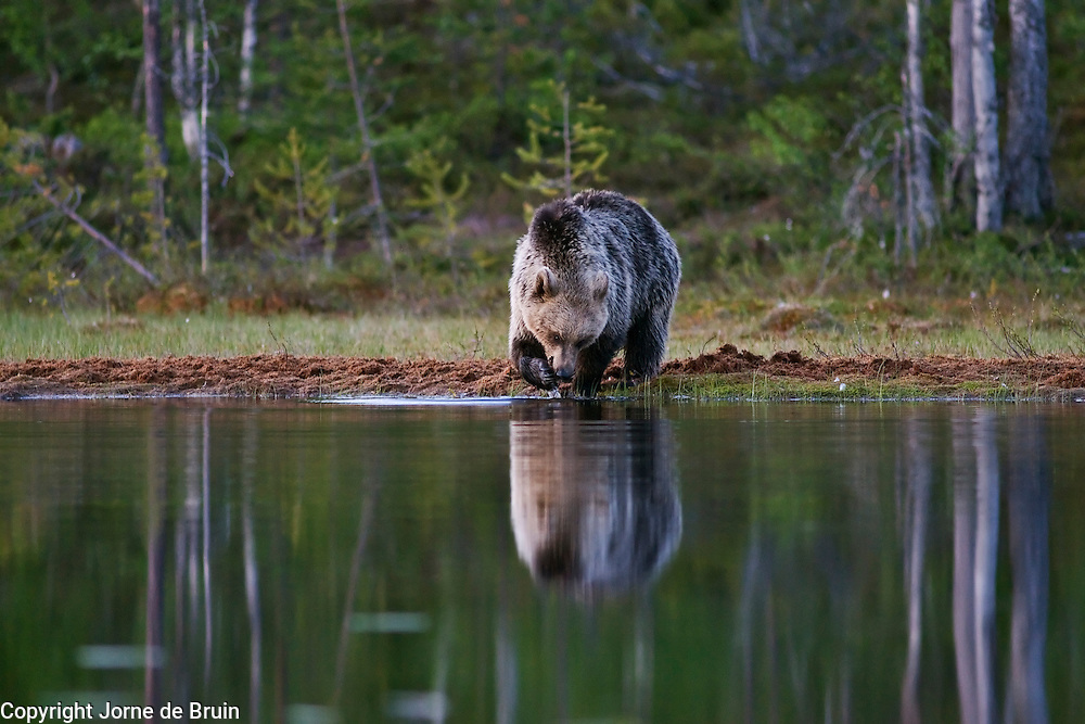 An Eurasian Brown Bear is washing herself at the edge of a lake in the forest in Finland.