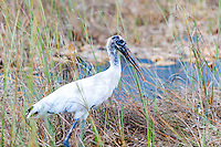 US, Florida, Everglades, Shark Valley. Wood Stork.