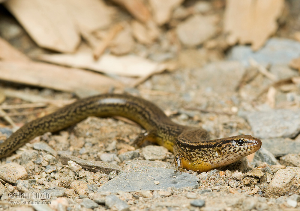 A previously undescribed species of night skink, tentatively called Eremiascincus sp. B, from Ermera Province, Timor-Leste (East Timor).