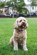 Local dogs in London - this is Gilbert the cavapoo (Cavalier King Charles Spaniel crossed with a poodle)