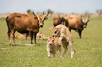 Heck cattle (Bos taurus), young calves. Oostvaardersplassen, Netherlands. June. Mission: Oostervaardersplassen, Netherland, June 2009.