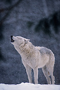 A grey wolf (Canis lupus) howling in the snow. Captive, Montana.