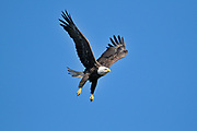 Bald eagle (Haliaeetus leucocephalus) in flight on the English River<br />Ear Falls<br />Ontario