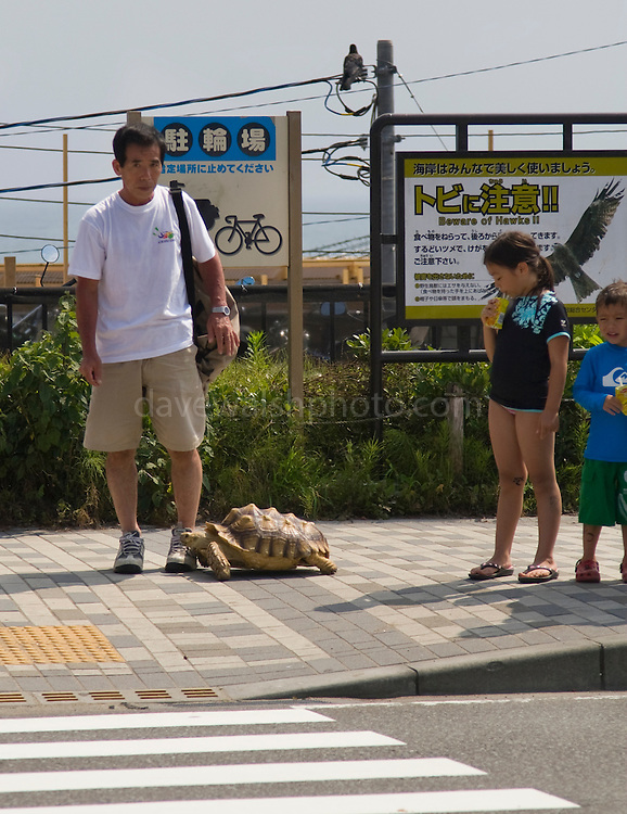Man with tortoise, Kamakura, near Tokyo Japan. This fellow appear to be out walking his tortoise - which, contrary to well known fables, was moving pretty quickly, trotting alongside him and doting over him like a dog. He had to restrain it at the pedestrian crossing to stop it from the road. When the light went green, he picked it up and carried it across! ....Editorial Use Only