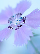Dianthus amurensis - Amur Pink