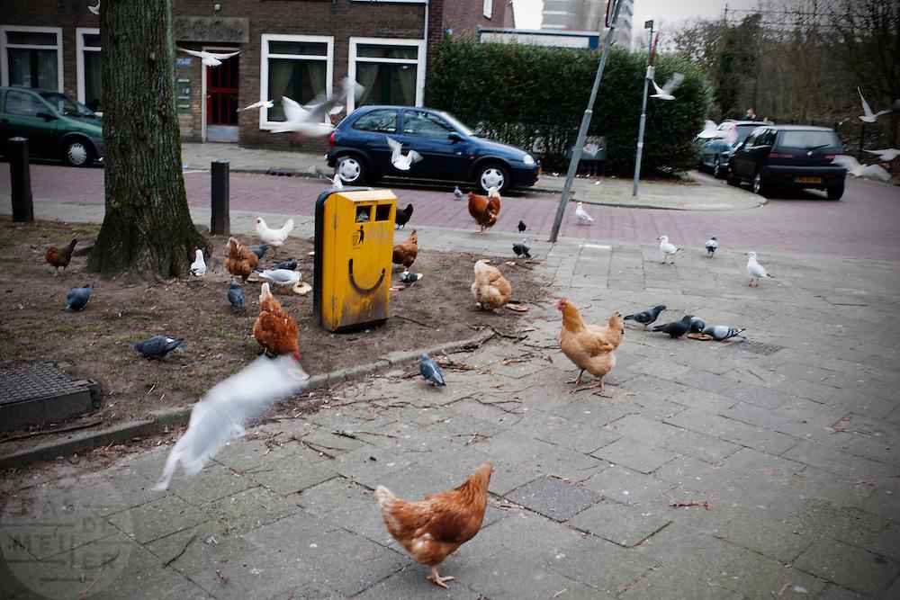 Kippen, duiven en meeuwen vechten om brood in de Leliestraat in Utrecht.<br /> <br /> Chicken, pigeons and seagulls are fighting over thrown away bread.