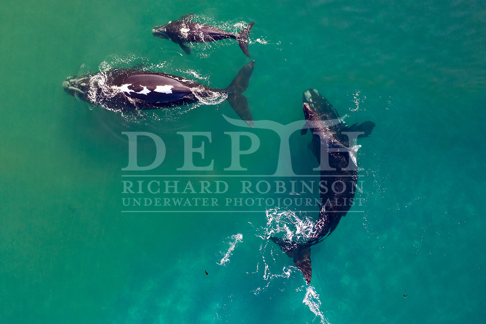 Mum-and-calf tohorā pairs gather to socialise in the quieter coves and bays of Port Ross. The bigger, older calf at the top of the frame is almost ready to follow its mother to the whales' feeding grounds. It will stay with its mother for up to two years, during which time it will learn her migratory routes, and likely follow those same pathways throughout its own life.<br /> Shot on assignment for New Zealand Geographic Issue: 166 November December 2020.<br /> Read the Feature: https://www.nzgeo.com/stories/the-whales-are-back/<br /> Photograph Richard Robinson © 2020.<br /> Rights managed image. No Reproduction without prior written permission.
