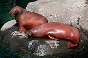 UNDERWATER MARINE LIFE EAST PACIFIC: Northeast MAMMALS: Walrus Odobenus rosemarus