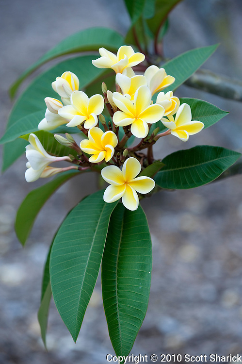 A bunch of yellow and white plumeria.
