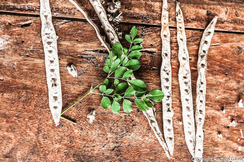 Moringa plant and seed pods