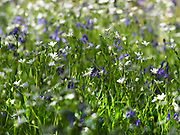 Greater stitchwort (Stellaria holostea)  and Bluebell (Hyacinthoides non-scripta), flowers, East Blean Woodlands, Kent, UK