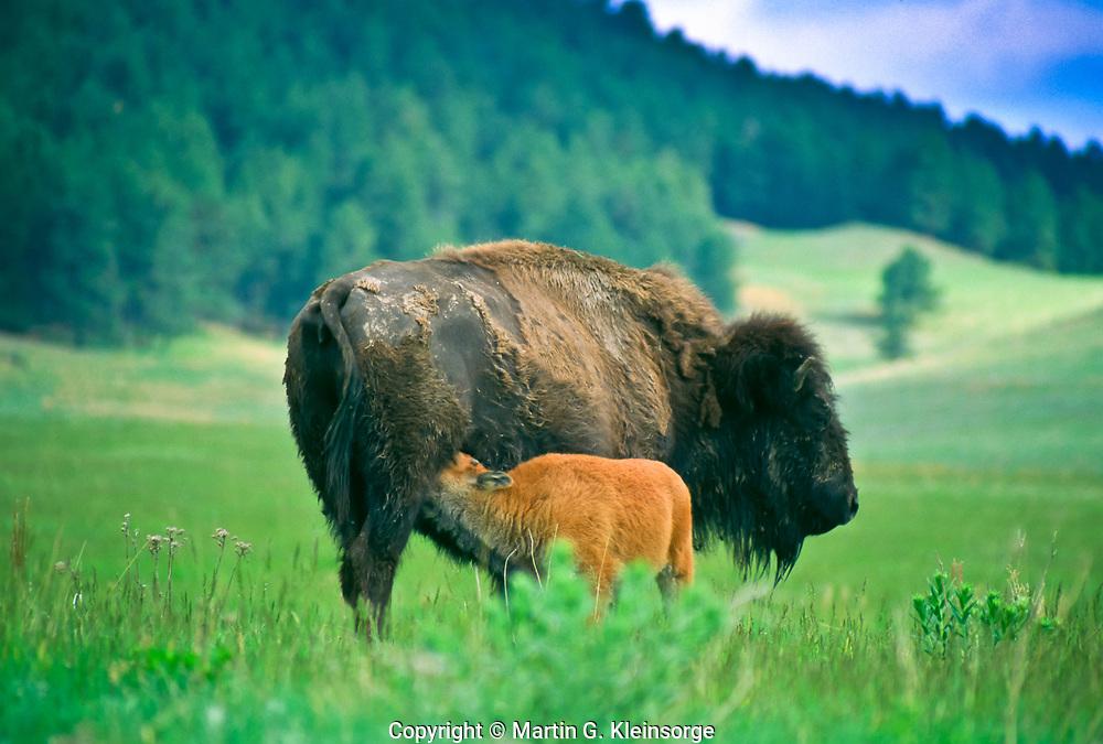 Cow bison nursing her calf.  Custer State Park, South Dakota.