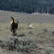 Bison (Bison bison) cow chasing a coyote away from her calves. Montana