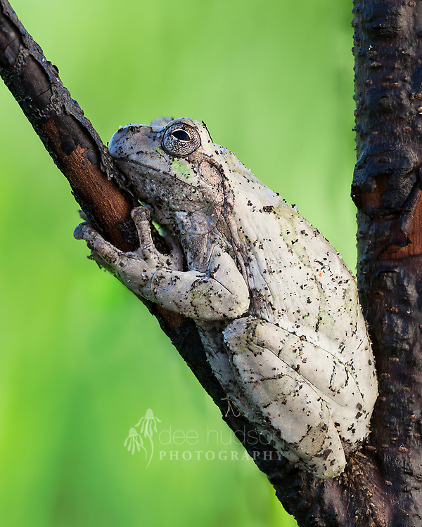 """A natural """"tree hugger."""" As a land steward, I was removing small cherry trees from the prairie when I discovered this tree frog grasping a branch targeted for destruction. He saved the cherry tree from total annihilation, since I could not possibly remove the perch (yet!)."""