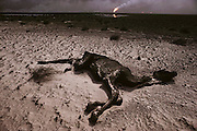 A dead camel in July of 1991 in the devastated desert landscape in the burning greater Al Burgan oil fields in Kuwait after the end of the Gulf War. More than 700 wells were set ablaze by retreating Iraqi troops creating the largest man-made environmental disaster in history.