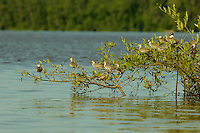 A grouo of immature waterbirds on low branches of a mangrove tree in Orinoco River Delta, Venezuela.