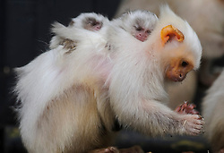 © Licensed to London News Pictures. 08/01/2013 London, UK. New mum, Murray carries her one week old Silvery Marmosets at the annual stocktake of every animal at Whipsnade Zoo, Beds. The compulsory count is required as part of the zoo's licence and every creature, great or small will be accounted for..Photo credit : Simon Jacobs/LNP