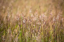 Mixed grasses in RSPB reserve, Dungeness including Yorkshire Fog grass, Perennial Rye-Grass and Soft Brome grass . Holcus lanatus, Lolium perenne, Bromus