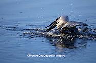 00672-00503 Brown Pelican (Pelecanus occidentalis) feeding J.N. Ding Darling NWR   FL