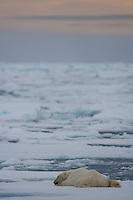 Polar bear (Ursus maritimus) resting on sea ice, Svalbard, Norway.