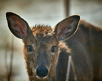 Young, sickly looking deer on my patio. Image taken with a Nikon D5 camera and 600 mm f/4 VR lens (ISO 180, 600 mm, f/4, 1/1250 sec).