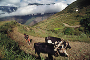 Sangay Khandu uses bulls to plow the family's fields, readying them for rice planting which the women in the family will do. He moves gingerly around the notoriously bad-tempered beasts. The Namgay household farms land that they own and rented land as well to feed their large family. The land is scattered in terraced strips through the hillsides near their home, each plot devoted to one crop: wheat, rice, chilies, or potatoes. Shingkhey, Bhutan. Published in Material World: A Global Family Portrait, pages 74-75. The family of subsistence farmers lives in a 3-story rammed-earth house in the hillside village of Shingkhey, Bhutan.