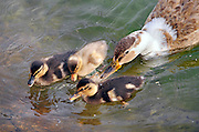 Nederland, Nijmegen, 6-5-2011Een eend met haar kroost.Eendenmoeder met jonge eenden,eendjes.Foto: Flip Franssen/Hollandse Hoogte