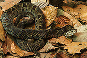 Fer de Lance (Bothrops asper)<br /> ECUADOR. South America<br /> Captive