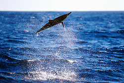 Long-snouted Spinner Dolphin calf, leaping, Stenella longirostris, off Kona Coast, Big Island, Hawaii, Pacific Ocean