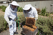 A prison guard and prisoner tending to the bee hives in the grounds of HMP Kingston. Portsmouth, United Kingdom. For safety they must wear full protective clothing and netting over their heads. Kingston prison is a category C prison holding indeterminate sentenced prisoners.